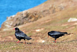 Choughs-for-web