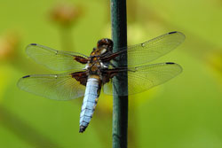 Broad-Bodied-Chaser-for-web