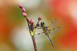Four-Spotted-Chaser-for-web